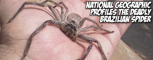 National Geographic profiles the deadly Brazilian Spider
