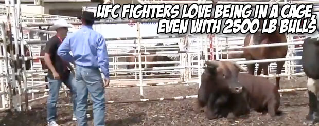 UFC fighters love being in a cage, even with 2500 lb bulls