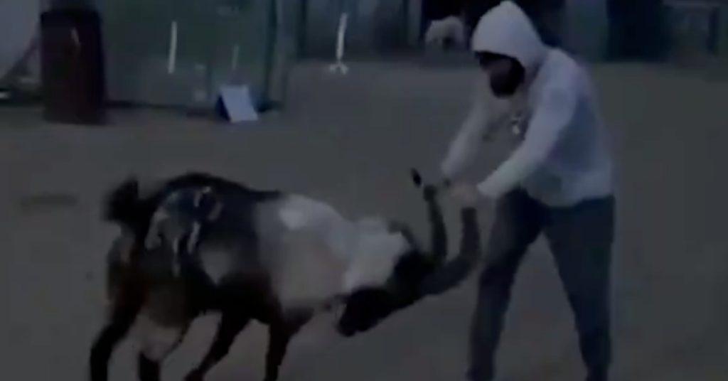 (Video) Zabit Magomedsharipov Spars With Goat During Lockdown